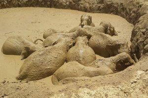 Iš dumblino bombos kraterio Kambodžoje išgelbėta 11 laukinių dramblių