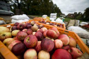 Sulčių spaudyklose – apgultis: sodininkai obuolius veža tonomis