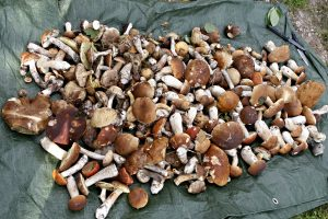 Grybų supirkėjai: grybų miškuose daug, bet jų supirkimas mažėja