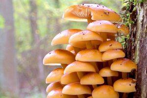 Į mišką – grybų nuo vėžio