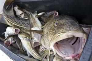 Kitąmet mažės menkių ir strimelių žvejybos Baltijos jūroje kvotos