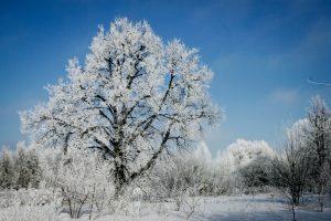 Jaunieji gamtininkai: medžius kapoję rusų karininkai buvo pasmerkti