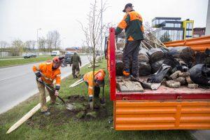 Kauno valdžios pažadas: visi išpjauti medžiai bus atsodinti
