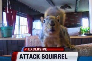 Naminė voverė užpuolė įsilaužėlį
