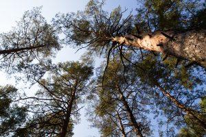 Vilkijos miške rasta žmogaus kaukolė