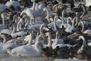 Kaune žiemoti pasilikusiems paukščiams – dovanotas lesalas