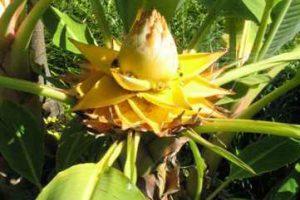 Kauno botanikos sode augs ypatingas nykštukas