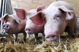Dėl kiaulių maro siūloma visoje Lietuvoje skelbti ekstremalią padėtį