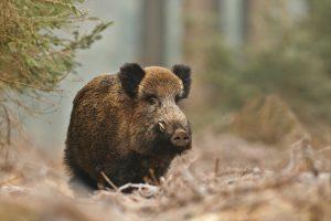 Šią savaitę kiaulių maras patvirtintas 25 šernų gaišenoms