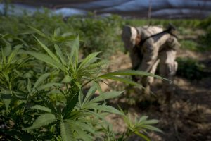 Urugvajuje pradeda veikti pirmoji pasaulyje valstybinė marihuanos rinka