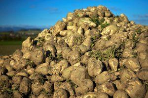 """Ūkininkai su """"Arvi"""" cukraus fabriku nesutaria dėl runkelių kainų"""