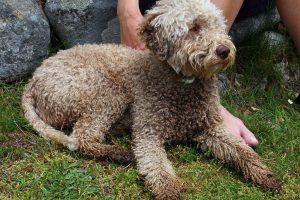 Romanijos vandens šunys – brangiausių pasaulio grybų ieškotojai