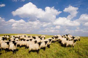 Šiaulių regione atliekas tvarkyti padeda avys