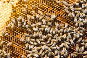 Bitininkai: medaus rudens sezonui užteks