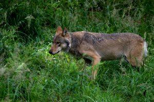 Nuo vilkų nukentėję ūkininkai galės tikėtis didesnės paramos