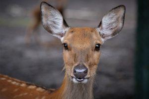 Padaugėjo automobilių susidūrimo su laukiniais gyvūnais atvejų