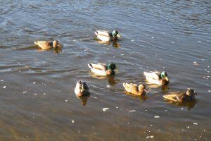 Artėjant pavasarinei paukščių migracijai išauga paukščių gripo rizika
