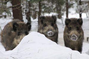 Per savaitę – 14 kiaulių maru užsikrėtusių šernų