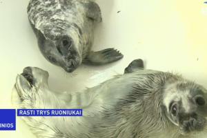 Jūrų muziejuje gydomi trys pakrantėje rasti ruoniukai