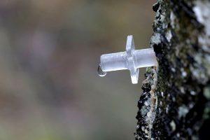 Metas skanauti medžių sulos: kaip atsakingai ją leisti?