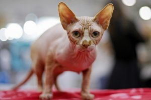 Kanados sfinksai – katės su švelnia lyg persikas oda