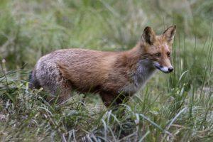 Lietuviai vis dar rizikuoja nelegaliai gaudydami ir laikydami laukinius žvėris