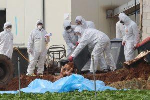 Paukščių gripas Europoje sieja nerimą