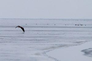 Ventės rage žiemos ramybe mėgaujasi ir jūriniai ereliai