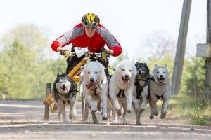 Jadagoniuose lenktyniaus šunų kinkiniai iš dešimties valstybių