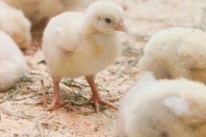 Naujam mėsinių viščiukų kompleksui – 8 mln. litų