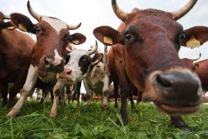 Ministrė Briuselyje tariasi dėl paramos pienininkams