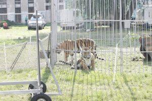 Pajūryje vieši dar vienas cirkas – šįkart pasirodys tigrai