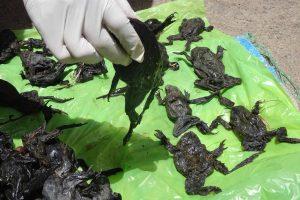 Peru upėje žuvo apie 10 tūkst. nykstančių varlių