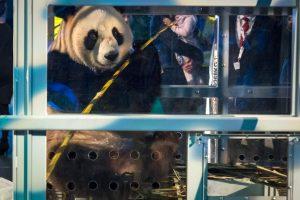 Olandijoje minios žavisi atvežta pandų pora