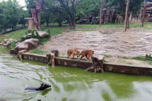 Kinų žiaurumas: zoologijos sode gyvą asilą įmetė sudraskyti tigrams