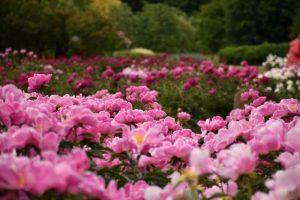 Į Kauno botanikos sodą kviečia turtinga bijūnų kolekcija