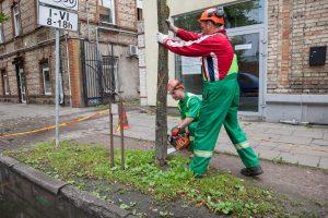 Vilniuje tvarkomi grėsmę keliantys seni medžiai