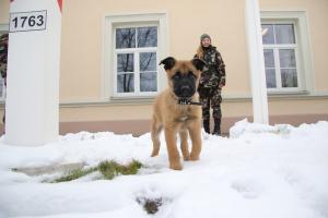 Saugoti valstybės sieną ruošiasi keturi jauni belgų aviganiai