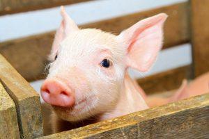 Šiais metais AKM pirmą kartą Lietuvoje diagnozuotas kiaulei