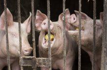 Anykščių rajone – ketvirtas kiaulių maro protrūkis ūkyje