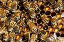 Apgailestauja, kad bičių produktai retai naudojami medicinoje