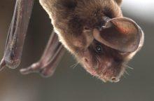Prie Vilniaus žiemojantys šikšnosparniai pagaliau rado ramybę