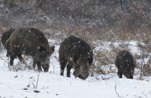 Lietuvoje afrikinis kiaulių maras tarp šernų tebeplinta
