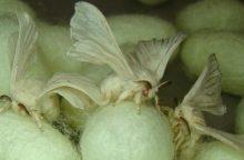 Genetiškai modifikuotų šilkverpių gaminiai apsaugos karius