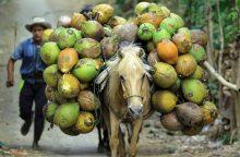 JAV širdies ligų ekspertai paneigė kokosų aliejaus naudą