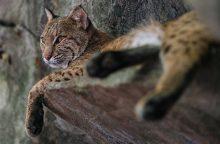 Katė maiše: į namus parsinešė lūšies jauniklius