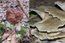 Kokių grybų miške dar galime rasti?