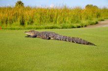 Moteris nustebo, kai į jos gyvenamojo namo kiemą užklydo aligatorius