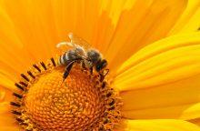 """Bitininkas: bitės """"bučinys"""" naudingas sveikatai"""