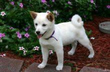 Japonijos pasididžiavimas – mieli, bet sunkiausiai dresuojami šunys
